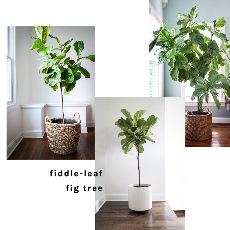fiddleleaftree